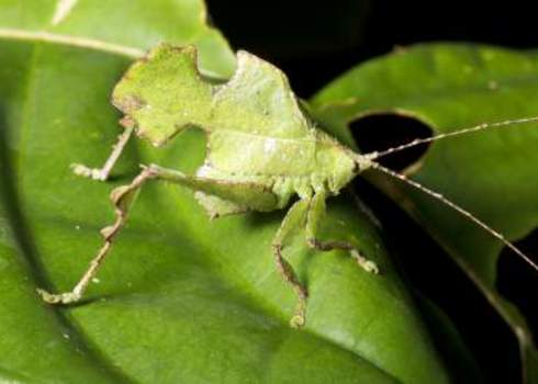 Adaptation Leaf Mimic Katydid, Ecuador Rainforest 176543591 Dr. Morley Read