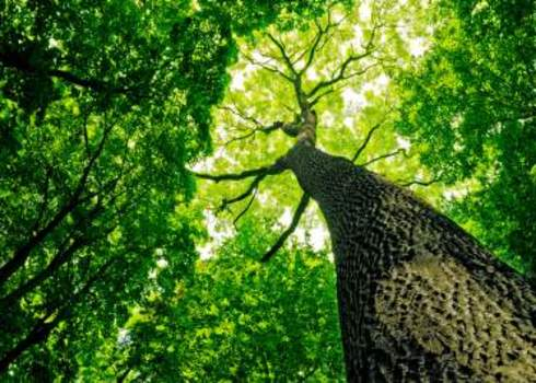 Green Carbon Forest Canopy Skywards View Vovan