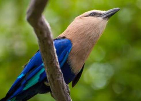 Biome Restricted Species Blue Bellied Roller (Coracias Cyanogaster)  134439677 Ruth Choi