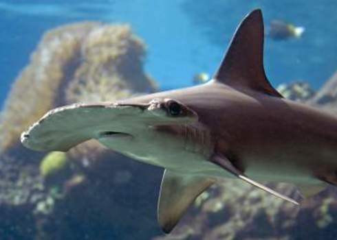 Cites Scalloped Hammerhead Shark On Reef Sphyrna Lewini Ian Scott