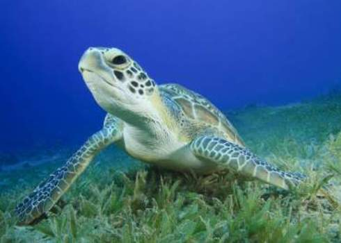 Green Sea Turtle Chelonia Mydas Rich Carey