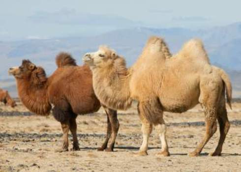 Cr Bactrian Camel Pair Mongolia Hunta