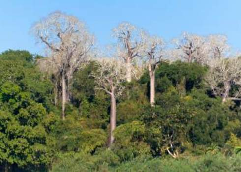 Endemic Species Baobabs Endemic To Madagascar By R Iver Tsiribihina Pierre Yves Babelon
