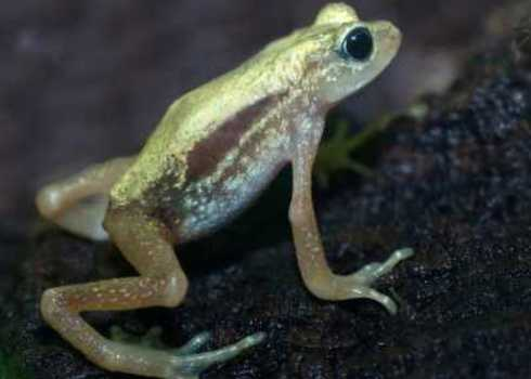 Ew Kihansi Spray Toad, Tanzania 53057104 David W. Leindecker