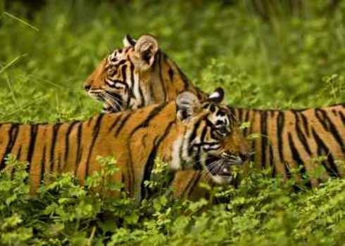 Flagship Species Two Tigers In Green Bush Ranthambhore Indiangypsy