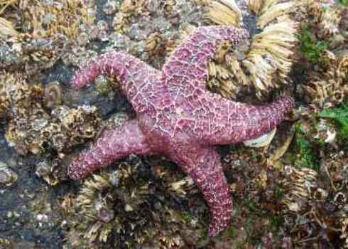 Keystone Species Purple Sea Star (Pisaster Ochraceus) 151622429 Lauraslens