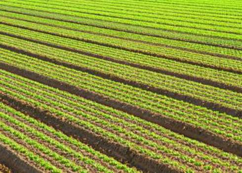 Intensive Farming Intensive Cultivation Of Green Salad In Agricultural Area 210859144 Fede Candoni Photo