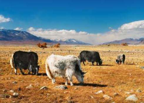 Functional Group Yaks Grazing In The Desert Mongolia Pichugin Dmitry