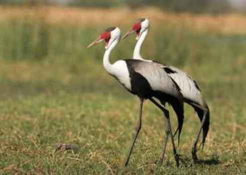 Indigenous Species Wattled Crane, South Africa (Bugeranus Carunculatus) 166882520 Bildagentur Zoonar Gmb H