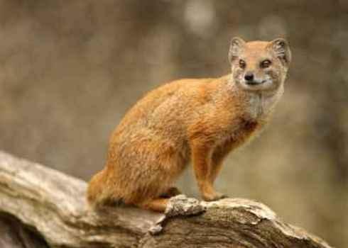 Lc Portrait Of Yellow Mongoose Cynictis Penicillata S.Cooper Digital