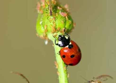 Regulating Services Ladybird Attacking Aphid 137636813 Dimijana