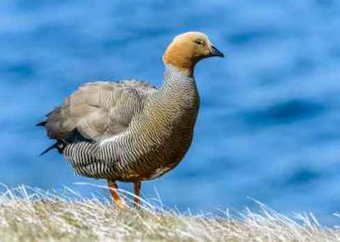 Restricted Range Species The Ruddy Headed Goose (Chloephaga Rubidiceps) , A Large Sheldgoose, Falkland Islands 126426344 Anton Ivanov