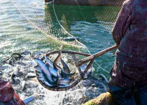 Resource A Fisherman Scoops Up Fish From A Net