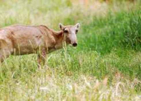 Threatened Saiga Antelope Andriy Solovyov