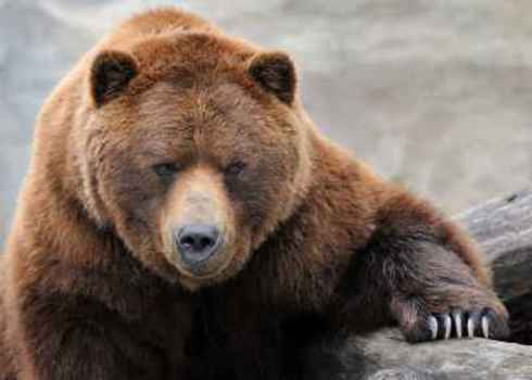 Umbrella Species Grizzly Bear Portrait 76495315 Nagel Photography