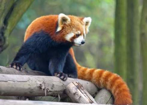 Vu Curious Red Panda Showing Dark Underside Hung Chung Chih
