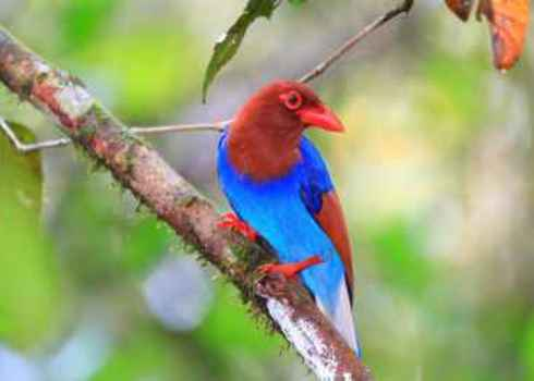 Eba Sri Lanka Or Ceylon Blue Magpie (Urocissa Ornata) 171683018 Feathercollector