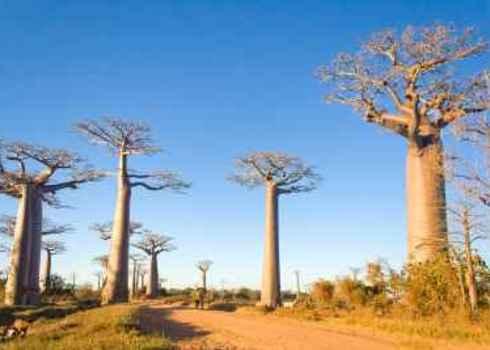 Global200 Baobab Trees In Savannah Madagascar Pierre Yves Babelon