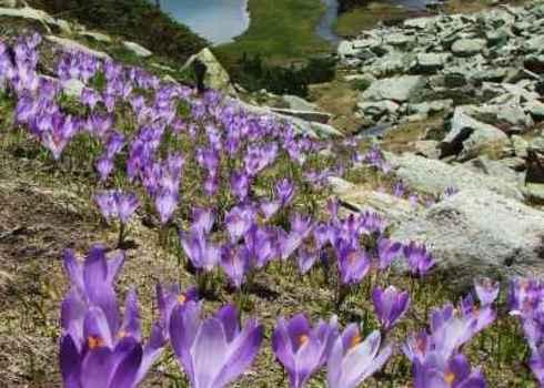Ipa Field Of Beautiful Flowers In Bloom Near Mountain Lake, Pirin, Bulgaria 67964518 Pavel Svoboda