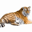 Siberian Tiger Lying Isolated On White  Pandapaw