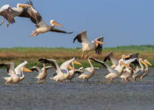 Ramsar A Group Of Pelicans In The Danube Delta, Romania 161646821 Porojnicu Stelian