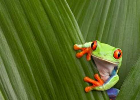 Native Red Eyed Tree Frog Agalychnis Callydrias Costa Rica Dirk Ercken
