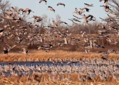 Migration Migrating Flock Of Greater Sandhill Cranes In Flight