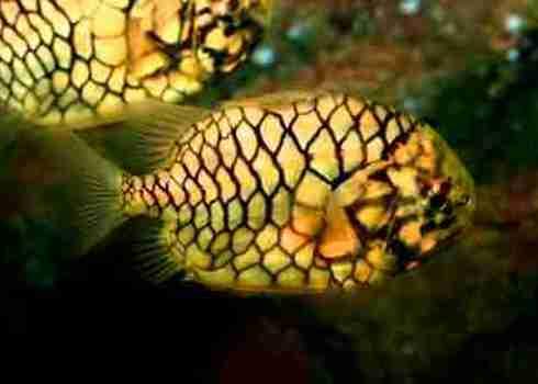 Ne Pineapple Fish (Cleidopus Gloriamaris) 101226589 Nantawat Chotsuwan