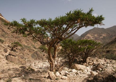 Unccd Frankincense Tree Dhofar Mountain, Oman Maroš Markovic