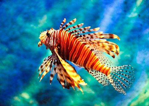 Ais Lion Fish Vudhikrai