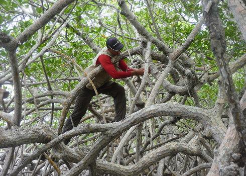 Scientist In Mangroves, Utila, Honduras