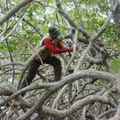 Scientist In Mangroves, Utila, Honduras