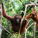 Hcv As Female Orangutan With The Kid In Branches Of Trees. Indonesia.Borneo 59755363 Sergey Uryadnikov