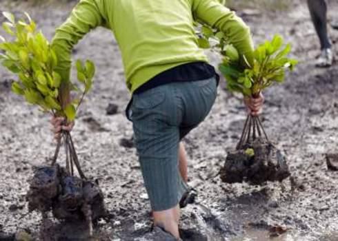 Biodiversity Offsets Mangrove Replanting, Satun, Thailand 97813259 Stephane Bidouze