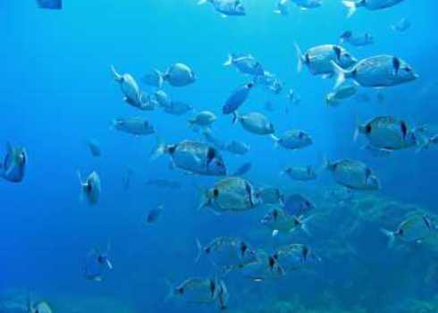 Spami School Of Fish Two Banded Seabream, Medes Islands, Mediterranean Sea, Costa Brava, Catalonia, Spain 74101693 Vilainecrevette