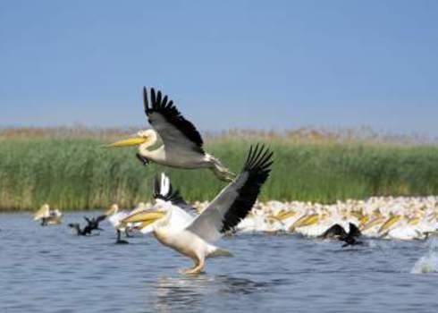 Biotope White Pelicans Pelecanus Onocrotalus Mircea Bezergheanu