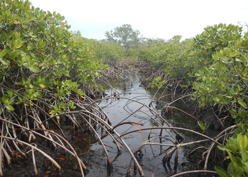 Peat Accumulation In Mangroves, Utila, Honduras