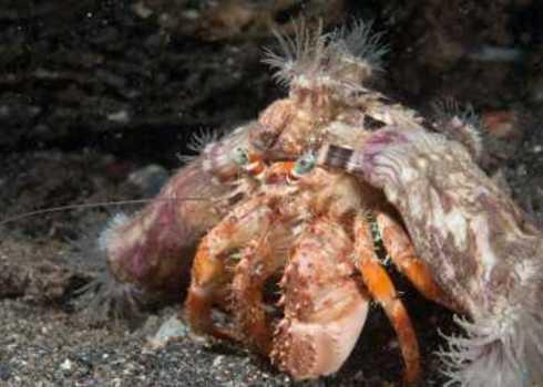 Benthic Anemone Hermit Crab Dardanus Pedunculatus Sulawesi, Indonesia Faup