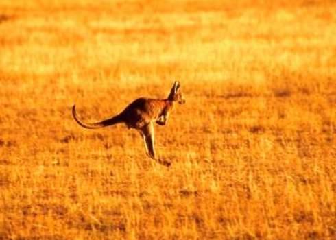 Endemic Species Kangaroo Wilpena Pound, Australia Csld