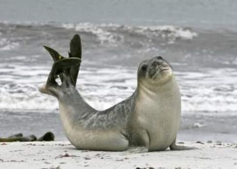 Lc Southern Elephant Seal Bull Mirounga Leonina Falkland Islands Gentoo Multimedia Ltd.