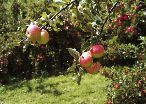 Apple Orchards Vale Of Evesham, Worcestershire David Hughes