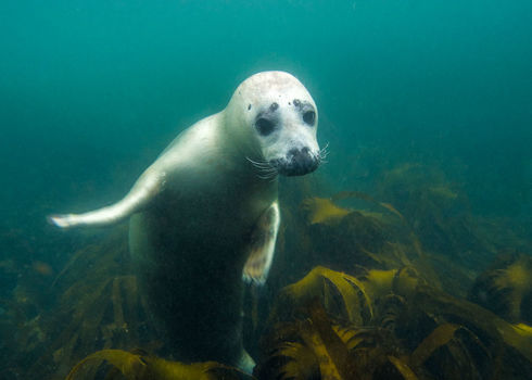 Ospar Underwater Picture Of Grey Seal (Halichoerus Grypus) In North Sea 167784194 Nicram Sabod