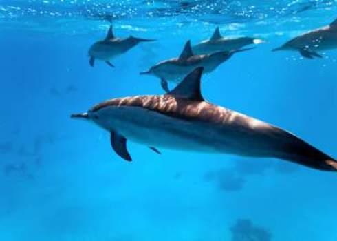 Red Sea Dolphins Underwater Red Sea Krzysztof Odziomek