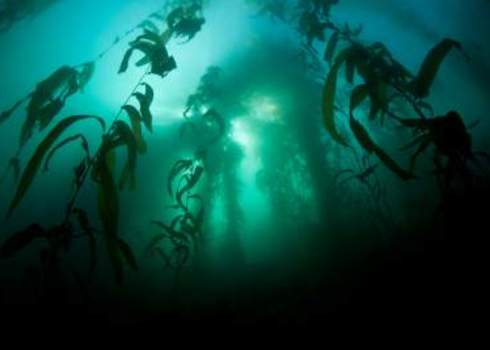 Ne Pacific Kelp Forest In Monterey Bay, California 128004809 Ethan Daniels