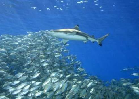 Pacific Blacktip Reef Shark Solomon Islands Pacific 111797285 Cbpix
