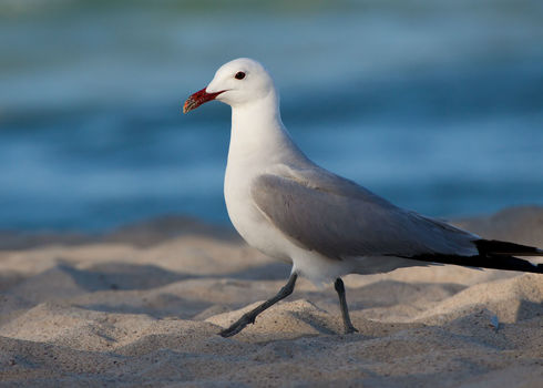 Natura 2000 Audouin's Gull At A Beach On The Island Mallorca, Spain  123477265 Johannes Dag Mayer