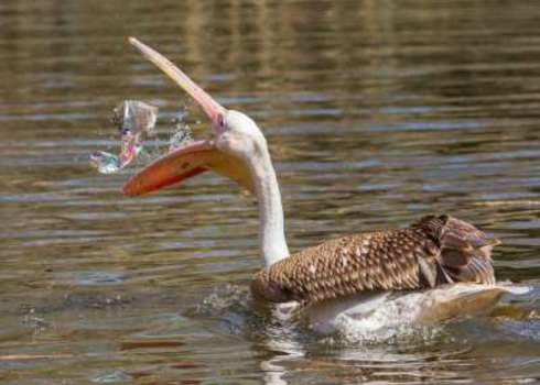 London Young Pink Pelican Playing With A Piece Of Plastic 133871960 Micha Klootwijk