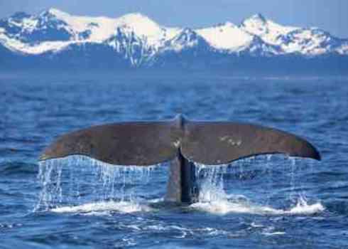 Whaling Sperm Whale Tail Kjersti Joergensen