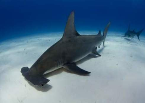Caribbean Great Hammerhead Shark In Bimini, Bahamas 147557075 Matt9122
