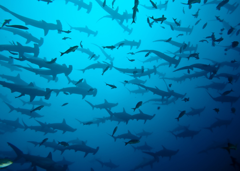 School Of Hammerhead In The Blue, Galapagos 43956502 Brandelet